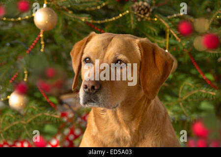 Yellow Labrador in Christmas setting - Stock Photo