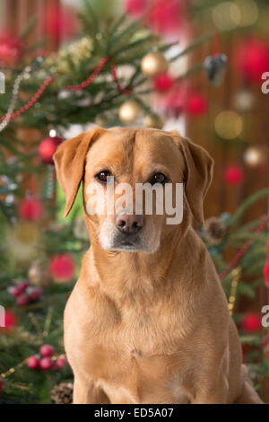 Yellow Labrador in Christmas setting - Stock Photo
