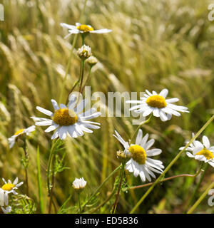 camomile on a barley field in summer - Stock Photo