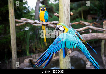 A pair of Blue and Yellow Macaws displaying gesture and vibrant color (Ara ararauna) - Stock Photo