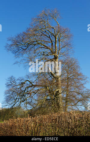 Landscape. Impressive tall tree behind a trimmed hedge. Tree has no leaves in this winter shot. - Stock Photo