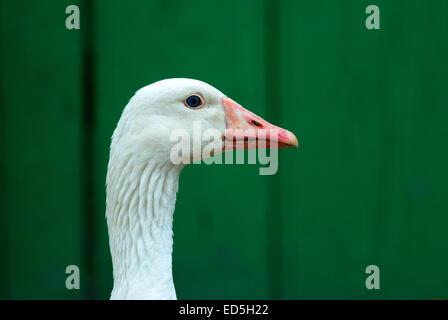 Portrait of domestic goose, Anser Anser domesticus, Romania, Europa - Stock Photo