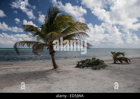 A young coconut palm grows on a sandy island off the coast of Belize in the Caribbean Sea. - Stock Photo