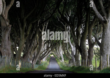 The Dark Hedges in Northern Ireland - Stock Photo