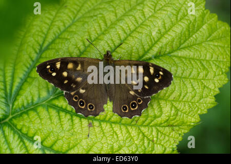 A Speckled Wood Butterfly (Pararge aegeria) on a bramble leaf in East Yorkshire, England - Stock Photo