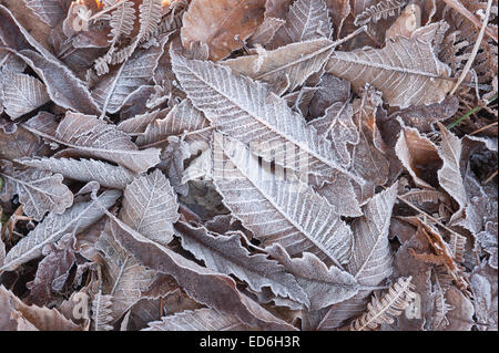 heavy hoar frost coating leaves fronds of bracken depicting freezing frosty conditions - Stock Photo