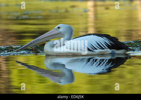 An Australian pelican photographed in the suburbs of Brisbane, Australia. - Stock Photo