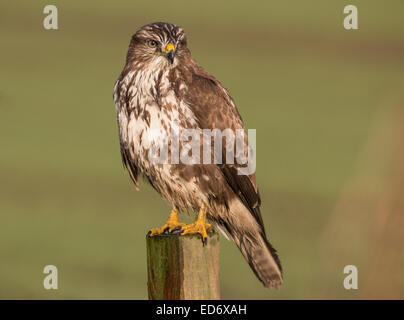 common buzzard - Stock Photo