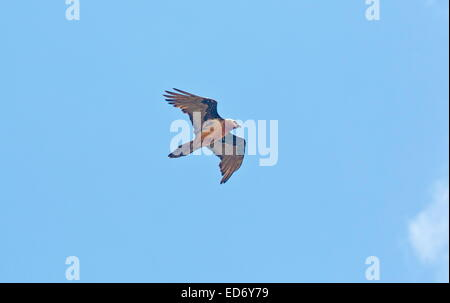 Bearded vulture, Gypaetus barbatus, or lammergeier,  in flight in the Drakensberg Mountains, South Africa - Stock Photo