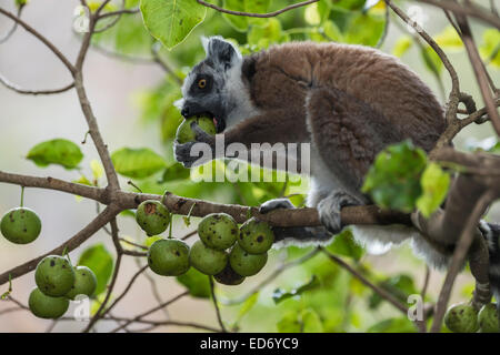 Ring-tailed Lemur (Lemur catta) on a tree feeding on fruit, Madagascar - Stock Photo
