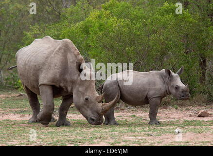 Mother and calf White rhinoceros / Square-lipped rhinoceros, Ceratotherium simum, (southern race) in Kruger National - Stock Photo