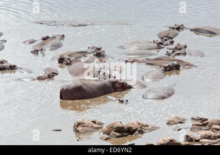 Group of Common hippopotamus, Hippopotamus amphibius, or hippo in a river, Kruger National Park, South Africa - Stock Photo