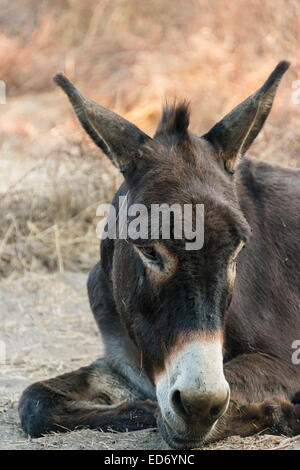 Donkey (Equus africanus asinus), Corse-du-Sud, Corsica, France - Stock Photo