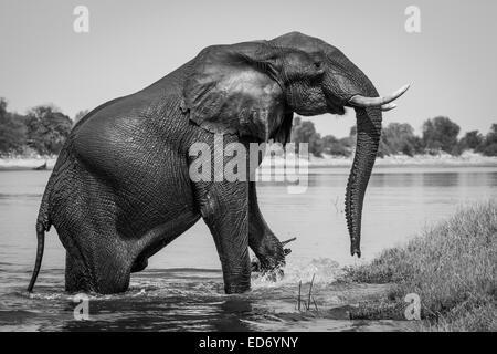 African Elephant (Loxodonta africana) emerging from the Chobe River, Chobe National Park, Botswana - Stock Photo