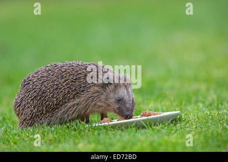 Common hedgehog, Schleswig Holstein, Germany, Europe / Erinaceus europaeus - Stock Photo