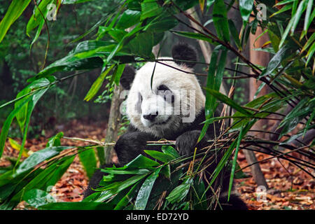 Giant panda (Ailuropoda melanoleuca) eating bamboo in the Chengdu Research Base of Giant Panda Breeding, Sichuan - Stock Photo