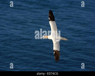 Northern Gannet flying above the ocean - Stock Photo