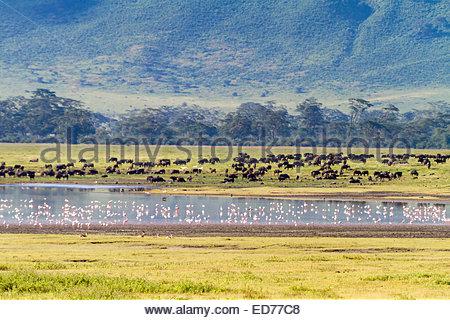 African buffalos and Flamingos at Ngorongoro conservation area - East Africa - Tanzania - Stock Photo