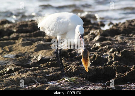 A white heron bird is walking on a rocky beach, holding in its mouth a small fish. The heron is about to eat the - Stock Photo