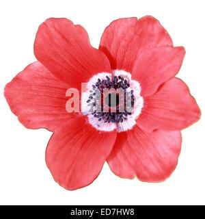 Beautiful red flower (anemone coronaria) on white background. - Stock Photo