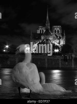 Night view of a swan on the Quai d'Orleans opposite Notre Dame, Paris - Stock Photo