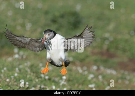 Puffin (Fratercula arctica) landing with a beak full with fish - Stock Photo