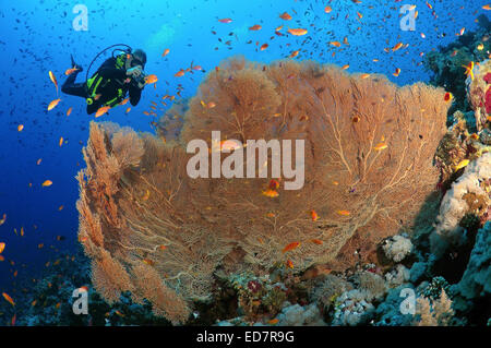 Diver photographing coral purple gorgonian seafan (Gorgonia flabellum) Red sea, Egypt, Africa - Stock Photo