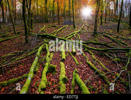 Autumnal woodland at first light. - Stock Photo