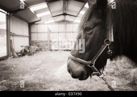 Closeup of Horse head  while in old barn - Stock Photo