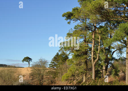 Scots Pine Trees - Pinus sylvestris, at Waldegrave Pool - Stock Photo