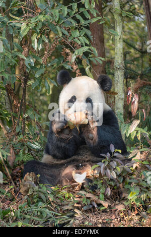 Adult Giant Panda eating bamboo - Stock Photo