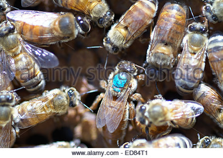 A queen bee - marked with a dot of blue paint on her back, to aid in location - surrounded by her worker honeybees; - Stock Photo