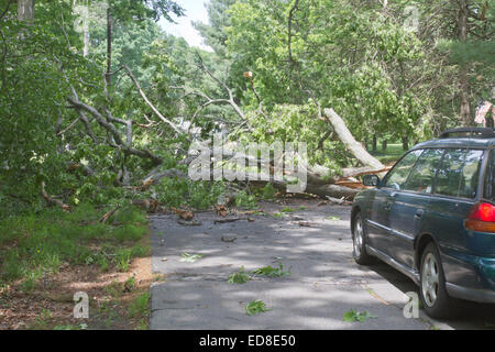 Car driving along a road is blocked by a large oak tree that has fallen and crumbled across the road blocking the - Stock Photo