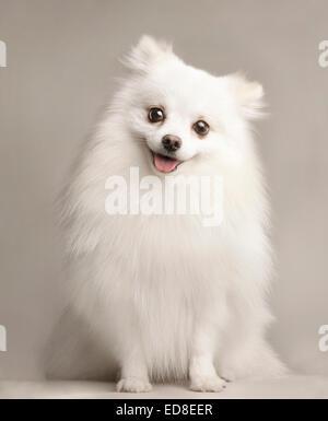 A portrait of a happy white Pomeranian in a white studio background. - Stock Photo