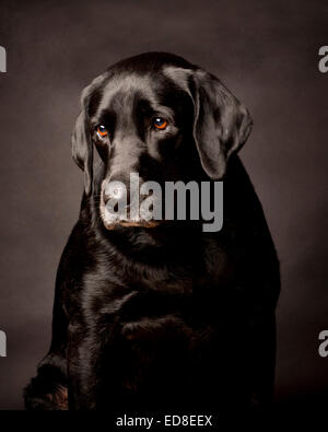 Thoughtful Shy Black Labrador.  Portrait in a black studio background. - Stock Photo