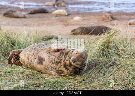 Grey seal, Halichoerus grypus, lying in marram grass in the dunes at Donna Nook national nature reserve, Lincolnshire, - Stock Photo