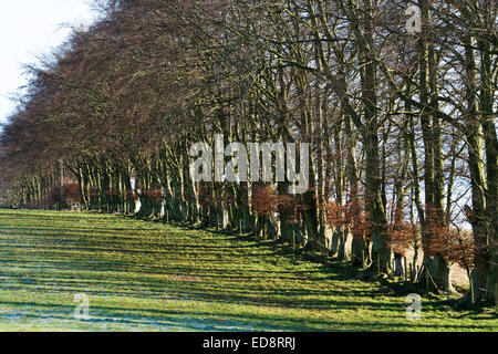 Fagus Sylvatica. Beech tree hedgerow in winter light in the Scottish countryside - Stock Photo