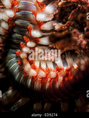 Close up of a Bearded fireworm (Hermodice carunculata). This is a species of marine bristleworm Photographed in - Stock Photo