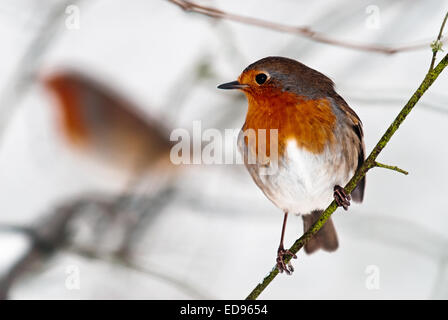 Pair of Robin birds Stock Photo