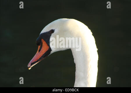 Mute Swan Closeup Portrait Against Black Background - Stock Photo