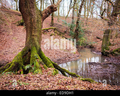 Large moss covered oak tree by a stream with the ground covered in leaves at The Dingle, Warrington, Cheshire, UK - Stock Photo