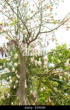Pods Of The Kapok Tree Ceiba Pentandra Bursting Open