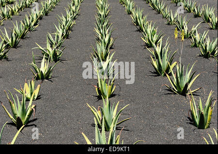 Aloe Vera field at Lanzarote Island, Canary Islands, Spain - Stock Photo