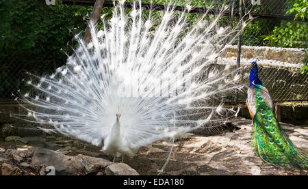 White and Indian peafowls (Pavo cristatus), lives in India and Ceylon. - Stock Photo