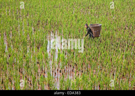 Tibetan woman working in rice paddy field with large basket on her back in the lowlands of the Sichuan province, - Stock Photo