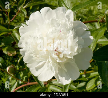 Big white peony on green leaves. Stock Photo