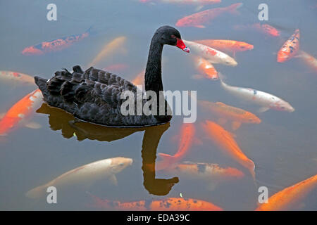 Koi carp cyprinus carpio domesticated variety of the for Koi fish australia