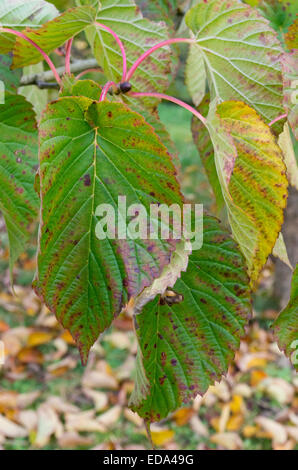 Davidia involucrata ( Dove Tree, Handkerchief Tree, Pocket Handkerchief Tree or Ghost Tree ) - Stock Photo