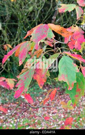 Acer griseum ( Paperbark Maple ) in Autumn - Stock Photo