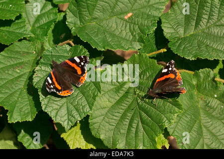 Red Admiral butterflies, Vanessa atalanta, basking in autumn sunshine on hazel leaves. - Stock Photo